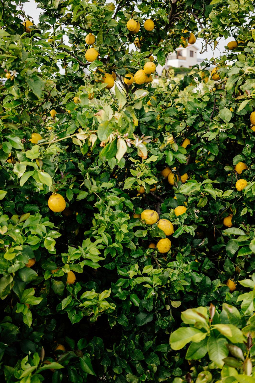 Cytryny cypryjskie