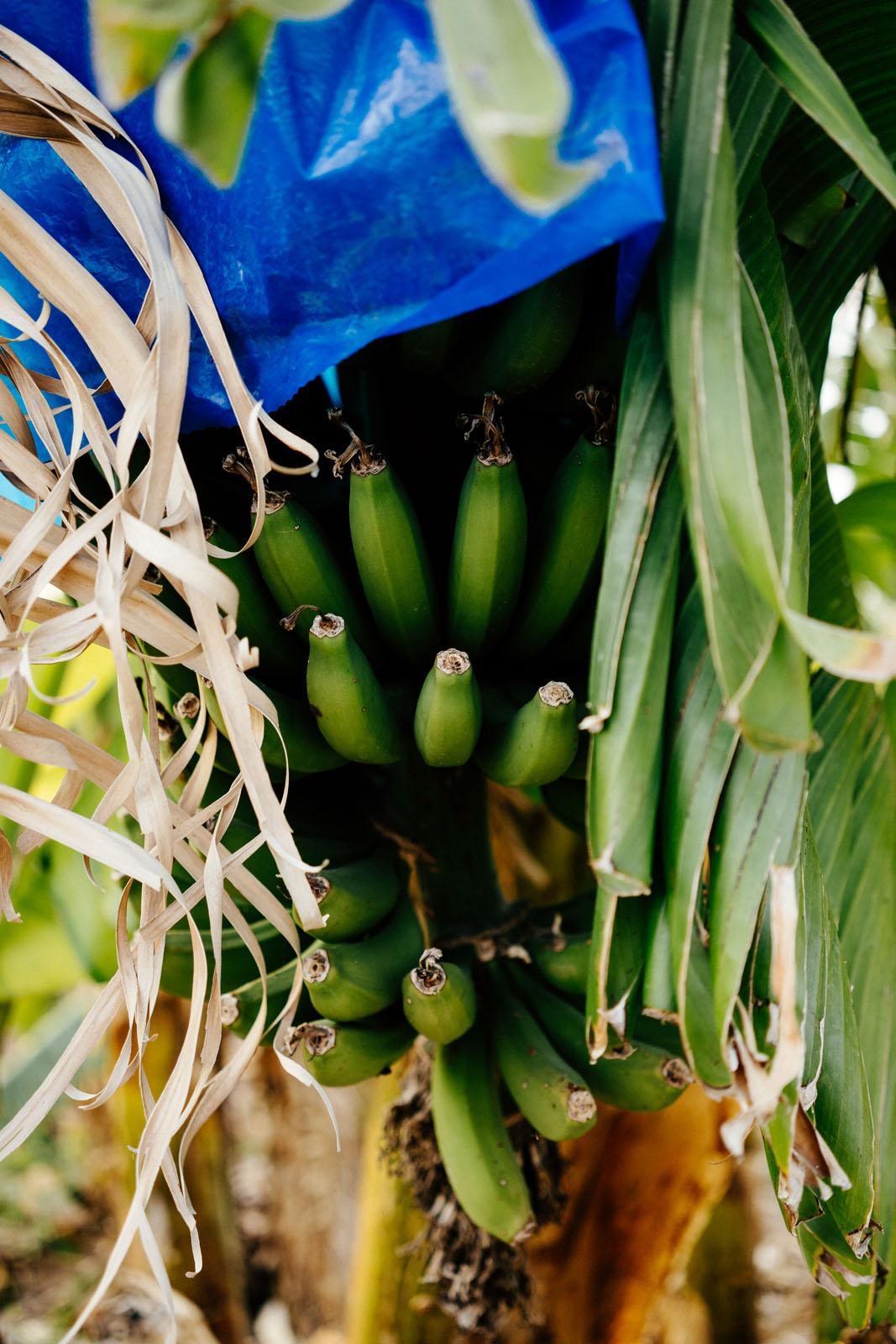 Banany cypryjskie