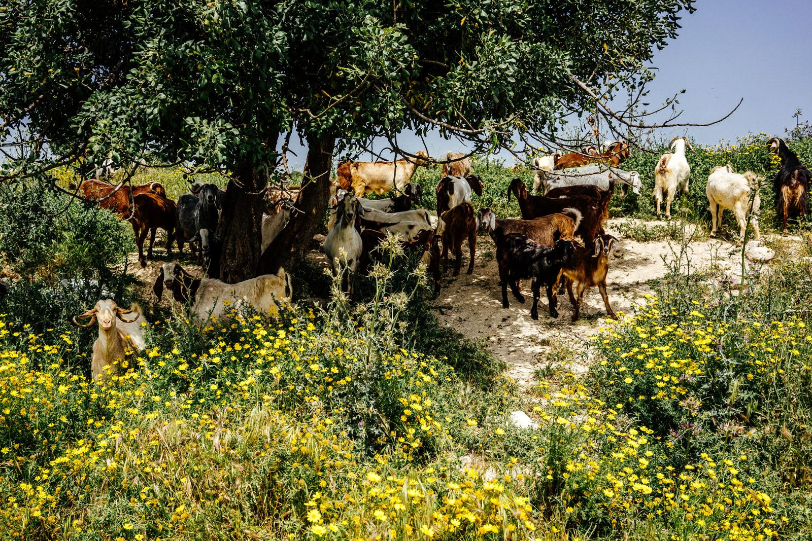 Kozy na Cyprze